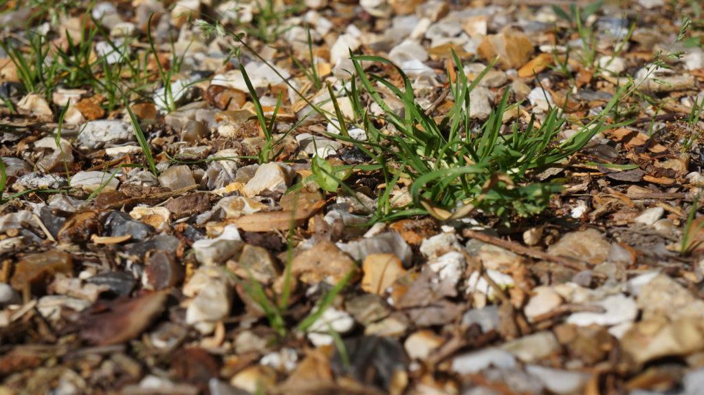Plante adventice dans une allée